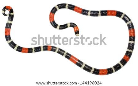 Eastern ribbon coral snake (Micrurus lemniscatus). A venomous snake from the Ecuadorian Amazon. - stock photo