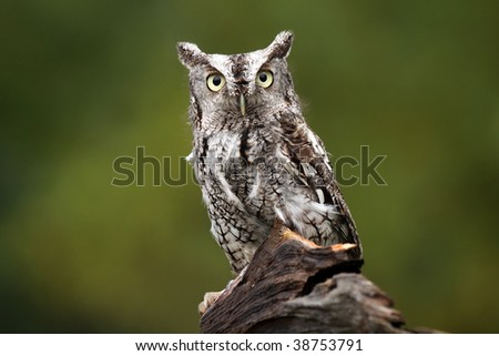 Eastern Screech-Owl staring at the camera with a dazed expression. - stock photo