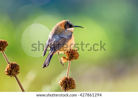 Eastern Spinebill (Acanthorhynchus tenuirostris) juvenile. The eastern spinebill is a species of honeyeater found in south-eastern Australia in forest and woodland areas, as well as urban gardens.  - stock photo