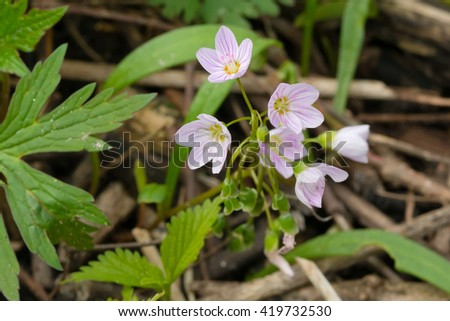 Eastern Spring Beauty wildflowers blooming on the forest floor. - stock photo