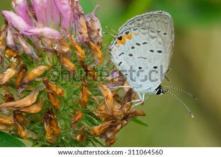 Eastern Tailed Blue Butterfly perched on a flower bud.