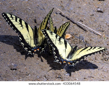 Eastern Tiger Swallowtail Butterfly on the banks of the Potomac River near Washington DC, April 2016 USA                                 - stock photo