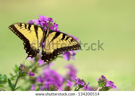 Eastern Tiger Swallowtail butterfly (Papilio glaucus) feeding on purple flowers. Natural green background with copy space. - stock photo