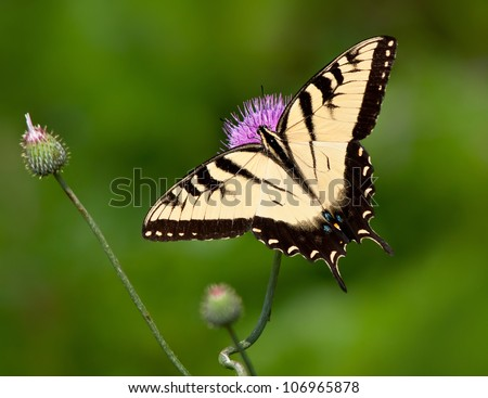 Eastern Tiger Swallowtail butterfly (Papilio glaucus) feeding on thistle flowers. Natural green background with copy space. - stock photo