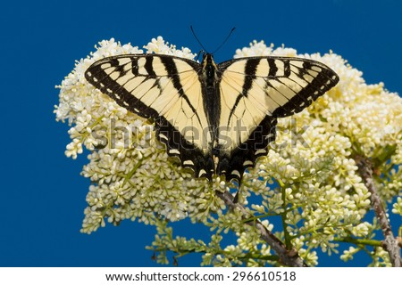 Eastern Tiger Swallowtail Butterfly perched on a flower up in a tree. - stock photo
