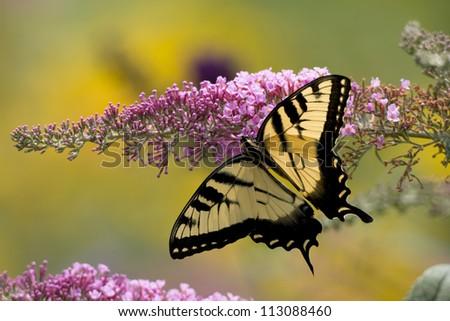 Eastern Tiger Swallowtail (Papilio glaucus) feeding on Butterfly Bush (Buddleia davidii) - stock photo