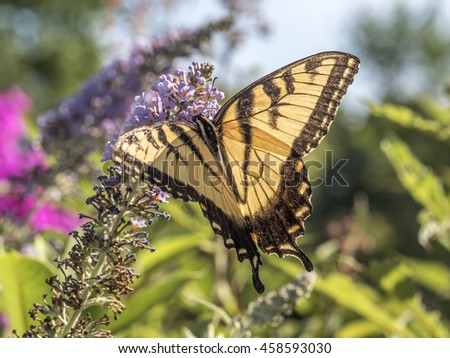 Eastern tiger swallowtail, Papilio glaucus is a species of swallowtail butterfly native to eastern North America - stock photo