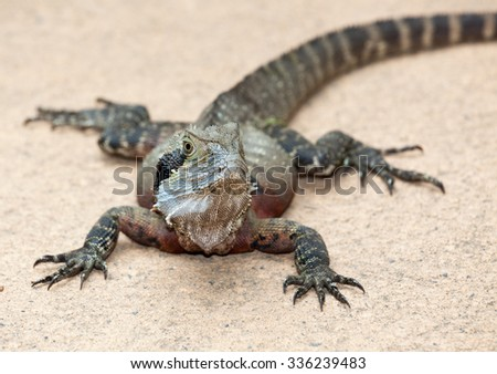 Eastern Water Dragon Lizard is a fairly placid lizard found in Australia