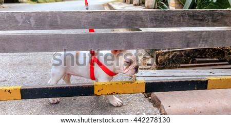 Easy day French Bulldog - stock photo