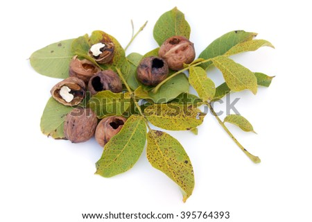 Eaten walnuts lying on walnuts' leaves - isolated on white