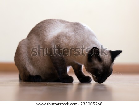Eating adult Siamese cat on  floor - stock photo