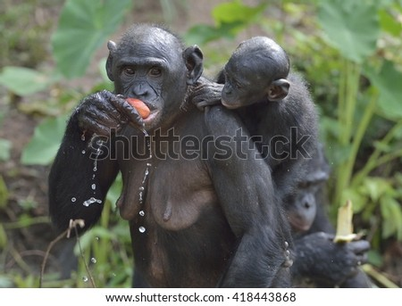 Eating Bonobo standing on her legs a cub on a back.  The Bonobo ( Pan paniscus). Democratic Republic of Congo. Africa - stock photo
