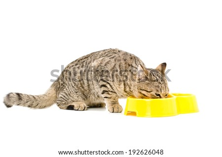 Eating cat Scottish Straight  isolated on white background - stock photo