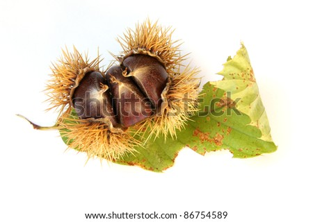 Eating chestnuts with leaves - isolated on white