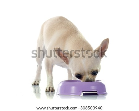 eating chihuahua in front of white background - stock photo
