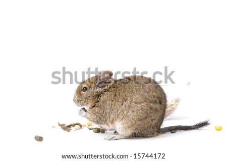 eating degu