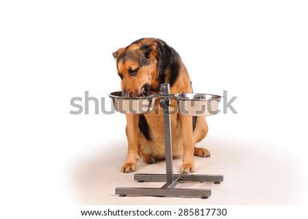 eating dog isolated over gray backround - stock photo