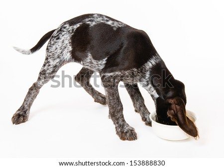 Eating German wire-haired pointer puppy, 12 weeks old, white background