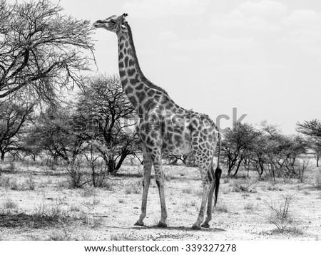 Eating giraffe on safari wild drive. Black and white image. - stock photo