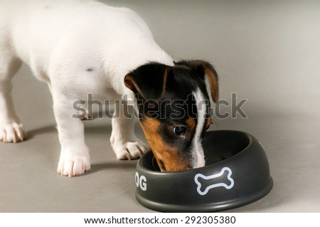 Eating Jack russell terrier - stock photo