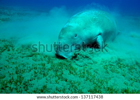 Eating Manatee