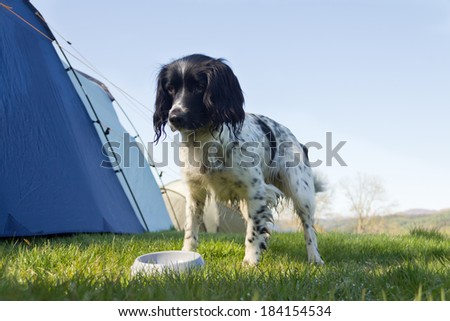 Eating outdoors-spaniel dog stands outdoors by tent waiting for her breakfast. - stock photo