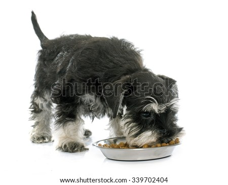 eating puppy miniature schnauzer in front of white background