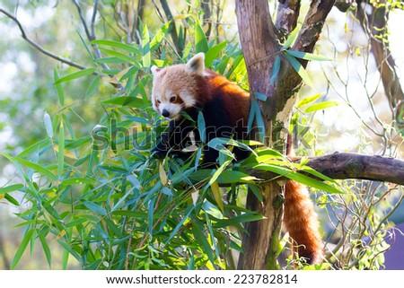 Eating Red Panda - Ailurus fulgens fulgens - stock photo