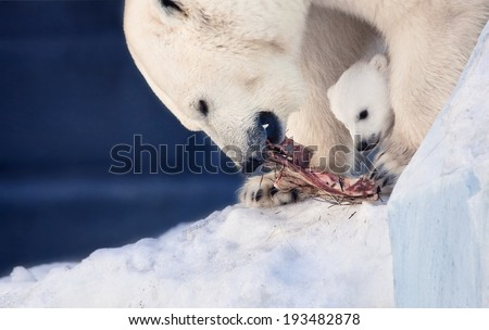 eating small white bear cub and mother - stock photo