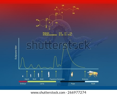 Ecdysone and insect metamorphosis - stock photo