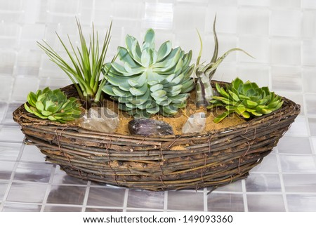 Echeveria, a succulent, and Tillandsia, an epiphyte of the Bromeliad family, growing in a wicker basket - stock photo