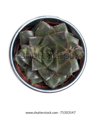 Echeveria plant isolated on white - stock photo