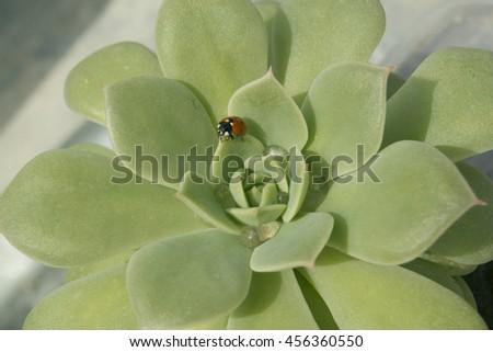 Echeveria Succulent and Ladybird On It - stock photo