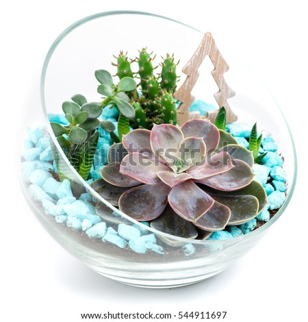 Echeveria Stock Photos, Royalty-Free Images & Vectors ...