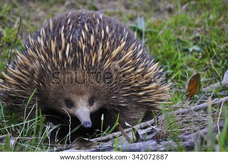 Echidna comes out to play