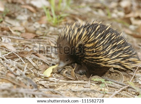 Echidna, New South Wales, Australia