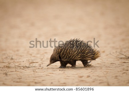 Echidna on a salt pan