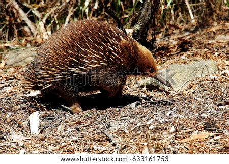 Echidna walking on the forest, Tasmania