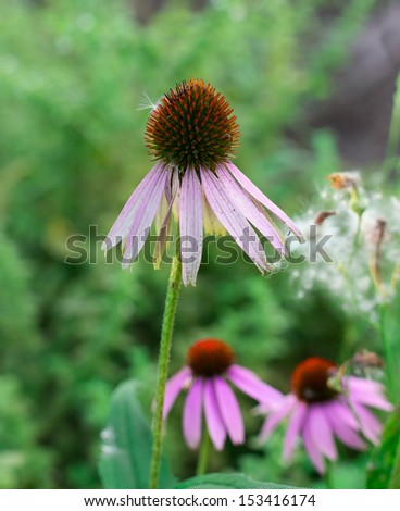 Echinacea among the greenery in the garden - stock photo