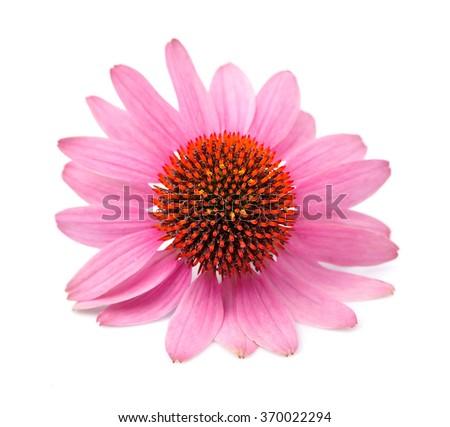 Echinacea flower close up isolated on white backgrounds. Medicinal plant. - stock photo
