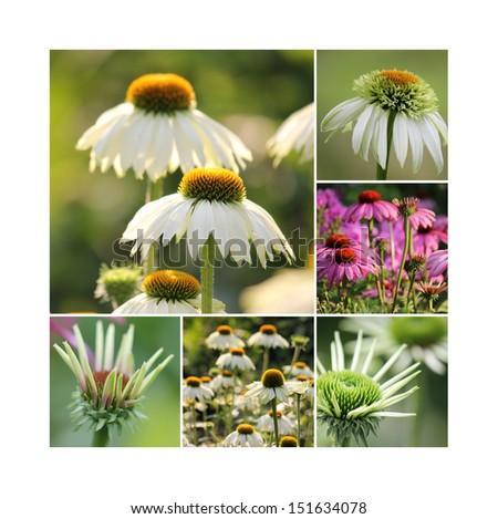 Echinacea flower collage - stock photo