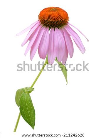 Echinacea Flower (coneflower) on white  - stock photo