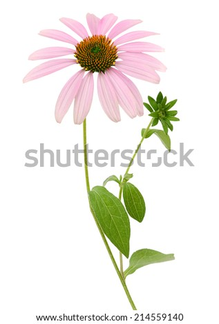 Echinacea Flower (coneflower) on white  - stock photo