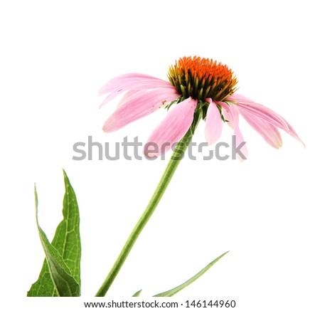 Echinacea flower isolated on white - stock photo