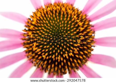 Echinacea flower on a white background - stock photo