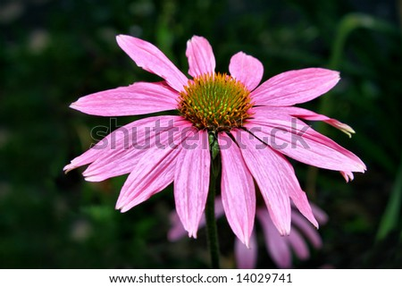 Echinacea flowering in Houston, Texas, USA