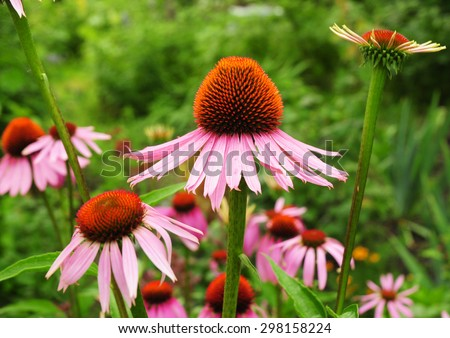 Echinacea flowers. Echinacea purpurea (eastern purple coneflower or purple coneflower) flowers in bloom. Echinacea purpurea is used in folk medicine. - stock photo