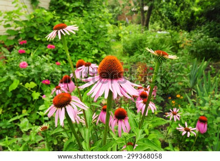 Echinacea flowers. Echinacea purpurea (eastern purple coneflower or purple coneflower) flowers in bloom in the garden. Echinacea purpurea is used in folk medicine. - stock photo