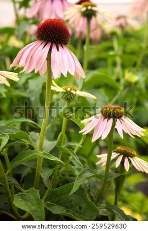 Echinacea flowers in a garden - stock photo