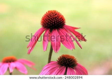 Echinacea flowers in green garden setting alternate healthcare concept - stock photo
